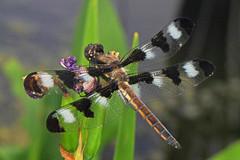 155/366 - Twelve-spotted Skimmer - Libellula pulchella, Mason Neck West, Mason Neck, Virginia (judygva) Tags: