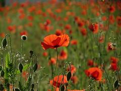 Klatschmohn (germancute) Tags: summer plant flower nature outdoor sommer ngc feld wiese poppy wildflower mohn