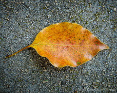 130366  2016  dry leaf on concrete (Doug Churchill) Tags: macro closeup project dead concrete death sadness leaf alone loneliness sad cement highcontrast dry foliage lonely 365 melancholy macros leaflet closeups arid deaths 366 highangleview macromondays project366 highangleviews sonyrx100m3
