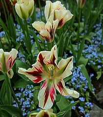 dew on the tulip (eepeirson) Tags: tulip dew foss cycle cloud earth butchartgardens britishcolumbia vancouverisland txeeptopaz