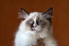 ragdoll (peo pea) Tags: nature animals bea natura cast felino gatto animale ragdoll