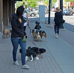 Going To The Dogs (Sherlock77 (James)) Tags: people woman dog calgary streetphotography kensington