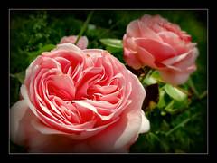 Rose 'Giardina' (karin_b1966) Tags: plant flower nature garden blossom natur pflanze blume blte garten 2016 climbingrose kletterrose yourbestoftoday rosegiardina
