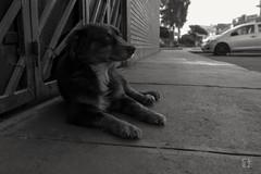 Bobby Maravilla (caBzPeru) Tags: blackandwhite dog naturaleza byn blancoynegro peru nature canon lima sanluis perro 55mm pe barrio peruviandog perroperuano bynperu peruestrella bynperuestrella ruteandoperu