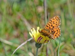Paarse parelmoervlinder (diederickmeinen) Tags: vlinders