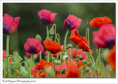 Poppy mixture (Paul Simpson Photography) Tags: flowers summer flower nature leaves countryside poppy poppies naturalworld redflowers summerflower redpoppies photosof imageof photoof imagesof sonya77 paulsimpsonphotography june2016
