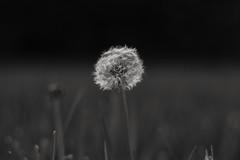 Test shot. AF-S NIKKOR 50mm 1:1.8G (SaltyDogPhoto) Tags: blackandwhite bw plant nature monochrome grass prime weed nikon focus dof bokeh lawn dandelion seeds depthoffield nikkor bnw seedpod testshot nikonphotography nikkorafs50mm118g nikond7200 saltydogphoto