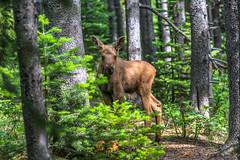 Baby Moose Calf (Cole Chase Photography) Tags: canon wildlife moose glaciernationalpark calf babymoose eos5d moosecalf manyglaciercampground