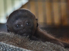 Olivia  baby woolly monkey (Carine06) Tags: monkey olivia dorset xingu primate monkeyworld chippy woollymonkey ktt2917