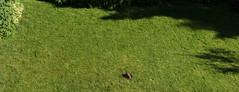 Bunny Birth panorama (Paul-W) Tags: rabbit bunny grass yard child birth mother ears 2016 givingbirth