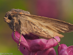 Miller Moth on Lilac (Bryan Maltais) Tags: macro bug insect moth olympus noctuidae focusstack acronicta leporina