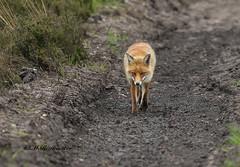 Vos / Vulpes vulpes (m.ritmeester) Tags: ngc nederland natuur veluwe bruin vos gelderland naturelovers