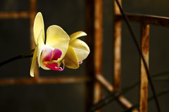 The girl in the garden (Dng Thnh Tm) Tags: garden flower orchid nature hoa phonglan cyci vn