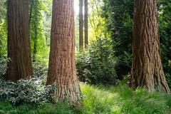 Redwood (martinstelbrink) Tags: leica trees tree 35mm germany sony summicron nrw redwood bume sequoia baum nordrheinwestfalen metasequoia mammutbaum f20 kaldenkirchen preasph grenzwald leicasummicron35mmf20i borderforest leicasummicron35mmf20preasph voigtlndervmeclosefocusadapter a7rii alpha7rii