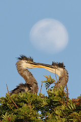 Beak Wrestling (bmse) Tags: county blue orange moon heron canon play great l ritual f56 juvenile salah beaks 400mm wingsinmotion 7d2 bmse baazizi