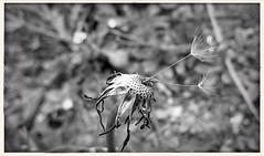 2gether (***toile filante***) Tags: two bw flower nature dof bokeh natur dandelion sw blume blacknwhite zwei pusteblume schwarzweis
