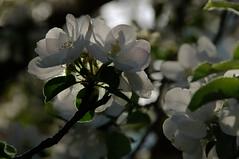 Freshness (Elliott Bignell) Tags: flowers flower tree fruit schweiz switzerland suisse ostschweiz blumen pear svizzera blume blte baum birne blten obst flums blhen walenstadt berschis blht