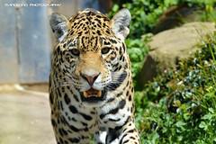 Jaguar - Zoo Saarbrucken (Mandenno photography) Tags: animal animals cat germany zoo big bigcat jaguar dieren duitsland saarbrcken dierentuin dierenpark zoosaarbrcken