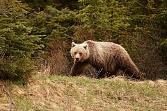 Grizzly Bear (ragingradish) Tags: grizzly grizzlybear grizzlybanff