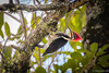 pica-pau-de-banda-branca (Dryocopus galeatus) (Ana Carla AZ) Tags: birds aves piciformes pirai picidae picapaus picapaudebandabranca dryocopusgaleatus rj139