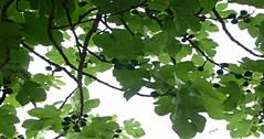 diseño para un pañuelo (pibepa) Tags: españa verde hoja rural contraluz hojas spain village pueblo asturias árbol 1001nights diseño rama higuera tineo breva pañuelo ramas excursión fruto breval tuña pibepa lumix2016 viaje2016 asturias2016 p1810646 breveral bacorera