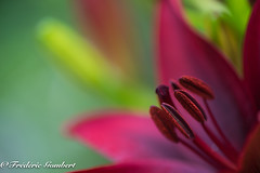 red heart (frederic.gombert) Tags: morning light red summer sun plant color macro green colors garden spring nikon lily purple greatphotographers d810