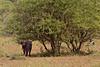 Buffalo, Cape 10-52 (Grete Howard) Tags: calabashadventures calabash safari safariinafrica savannah serengeti africa africansafari africanbush africananimals tanzania whichsafaricompany whichsafarioperator bestsafarioperator bestsafaricompany animals animalphotos animalsofafrica birds birdwatching birding gamedrive trip travel hoiday vacation fun adventure wildlife