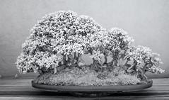 DSC_3926s (An Xiao) Tags: arboretum bonsai penjing