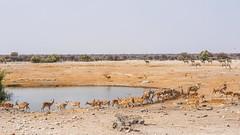 DSC08229-20150923 (C&P_Pics) Tags: na zebra impala bovidae mammals namibia kudu burchellszebra etoshanationalpark blackfacedimpala oshikoto namutonicamptohalalicamp