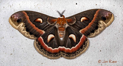 # 7767 – Hyalophora cecropia – Cecropia Moth (Wildreturn) Tags: missouri moth mo mothsofmissouri mothsofmissourifieldguide mmfg moths lepidoptera usa columbia boonecounty insects insecta insect hodges7767 7767 hyalophora hyalophoracecropia cecropiamoth saturniidae giantsilkwormandroyalmoths