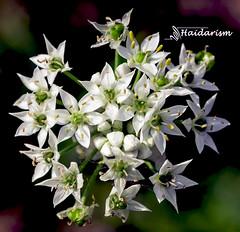 Flowers Speak (haidarism (Ahmed Alhaidari)) Tags: white flower bud plant bokeh outdoor nature depthoffield sonya65 macro macrophotography green innocence purity honesty flowersspeak speak ngc