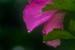 Dawn; nature, in light rain and mist... (tomk630) Tags: light nature colors rain rose dawn virginia drops darkness sharon