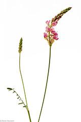 Wiesenblume 8A (rainerneumann831) Tags: macro natur pflanze blume blte lupine wiesenblume focusstacking