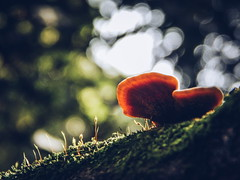 (Rodrigo Geraldini) Tags: cogumelo musgo umidade chuvoso