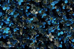 WW I Remembrance Forget-Me-Nots. (Trevdog67) Tags: sculpture metal newfoundland wwi ceiling worldwari remembrance forgetmenots therooms