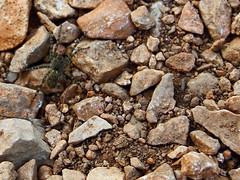 Araigne de berge (zuhmha) Tags: insecte araigne caillou