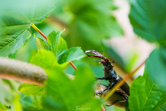 Adventuring Stag (Sirius-Art) Tags: england cute nature contrast spring dangerous nikon vibrant critter wildlife sharp bournemouth weapons inset stagbeetle prongs 2016 d810