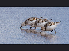 Sanderling (Paul A West (www.pwest.me)) Tags: nature birds duck northumberland sanderling eiderduck stonechat