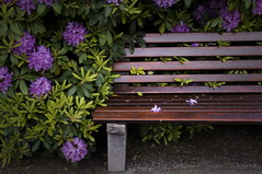 Happy Last-of-the-Rhododendrons Bench Monday (suzanne.gibson) Tags: plant flower germany bench munich outdoor rhododendron shrub monday botanicalgarden hbm