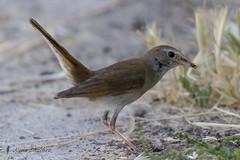 Ruiseor comn (Luscinia megarhynchos) (jsnchezyage) Tags: naturaleza bird fauna birding ave lusciniamegarhynchos ruiseorcomn
