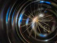 Captured in a Shot Glass (Don White (Burnaby) Thanks for the Three Million V) Tags: macro bokeh extensiontube flowersplants hydranga 26mm hawksbeard sigma60mmf28