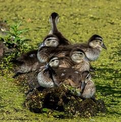 Wood Duck Ducklings (b88harris) Tags: park wood sun sunlight lake duck nikon exposure babies pennsylvania ducklings 300mm nikkor harrisburg specanimal wildood d7200