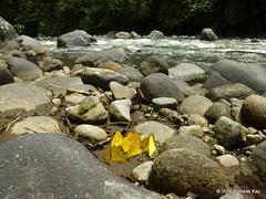 Phoebis sp., Pieridae (Ecuador Megadiverso) Tags: butterfly ecuador pieridae mindo phoebissp riosaloya andreaskay