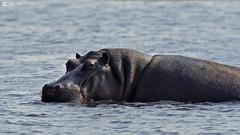 15-09-20 Ruta Okavango Botswana (403) R01 (Nikobo3) Tags: travel parque naturaleza animals fauna nikon ngc delta unesco viajes animales botswana okavango d800 twop frica vidasalvaje omot deltadelokavango nikond800 rochobe nikon7020028vrii tc20eiii flickrtravelaward parquenacionalchobe nikobo josgarcacobo