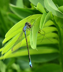 Damselfly with Cranefly Prey (John_E1) Tags: macro closeup insect feeding prey damselfly cranefly elegans behaviour ischnura
