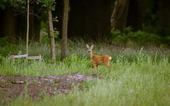 Roe Deer - HSK_0987 (Hasan Karaglmez) Tags: netherlands forest canon contemporary sigma 7d roedeer ree capreoluscapreolus hasankaragulmez 150600mm hasankaraglmez