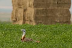 Avutarda macho (Otis tarda) (jsnchezyage) Tags: naturaleza bird fauna birding ave pjaro otistarda avutarda