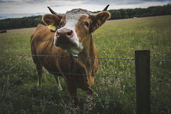 Yes can I help you? (Angela Grant photography (Not enough hours in the ) Tags: portrait england field animal countryside cow nikon cattle britain outdoor united great kingdom nikond810 nikkor2470mm