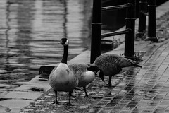 IMG_0421 (jasghataaura) Tags: park city uk england bw white black nature architecture canon eos canal geese blackwhite scenery goose coventry warwickshire 1200d