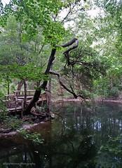 Leon Sinks (Rocks In Her Head) Tags: sink sinkholes leonsinks apalachicolanationalforest hammocksink